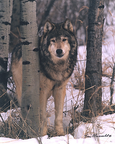 alittledirtneverhurt:  These breathtaking gray wolves were eradicated from Yellowstone National Park with the decline of the Aspen tree. What park rangers soon realized was how much the ecosystem was changing since they left. Once the fierce predators were gone, the elk began to dominate the park and feed on baby Aspen trees, a North American tree. Rangers reintroduced the gray wolves to stabilize the dangerously increasing Elk population.