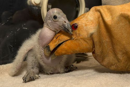 allcreatures:   Two-week-old Wesa, the first California condor chick hatched this season at the San Diego Zoo Safari Park, cuddles with a condor puppet. According to her keepers, Wesa has quite the appetite - she's eating up to 15 mice daily.  PHOTO BY KEN BOHN/AFP/GETTY IMAGES (via Fourteen days of the condor: Two-week-old Wesa, the first California condor chick hatched thi)