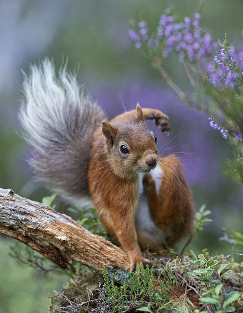 Red Squirrel with an itch by David C Walker 1967 on Flickr.