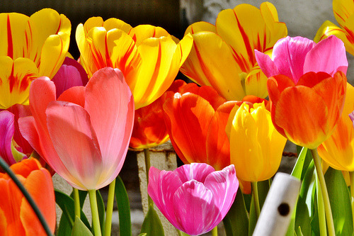 "fabulouseverything:  ""TULIPS ARE UGLY."" -SAYS NOBODY"