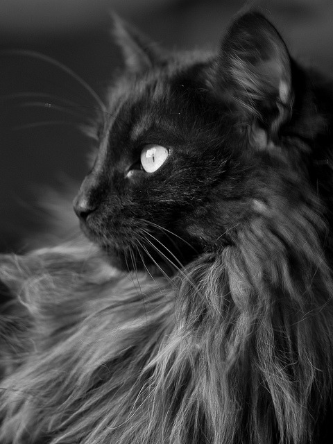 catsinblackandwhite:  Black smoke - Norwegian Forestcats by Maine Coons on Flickr.