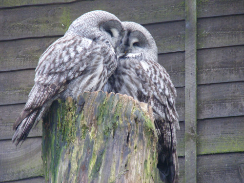 owlsonmymind:  Great grey owls (by Marie Hale)