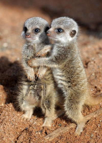 thepredatorblog:  magicalnaturetour:  Cuddling meerkats ~ Photo credit: PA  LAWD HAVE MERCY