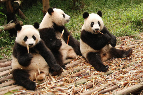 funnywildlife:  Pandas by Kuba Abramowicz on Flickr.