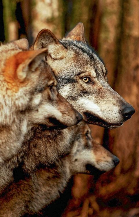 llbwwb:   Wolves by Peter Hausner Hansen.