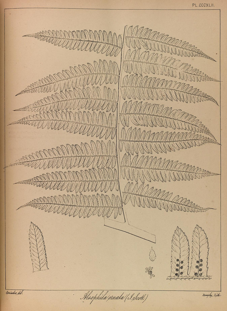 The Ferns of British India, 1866 (by BioDivLibrary)