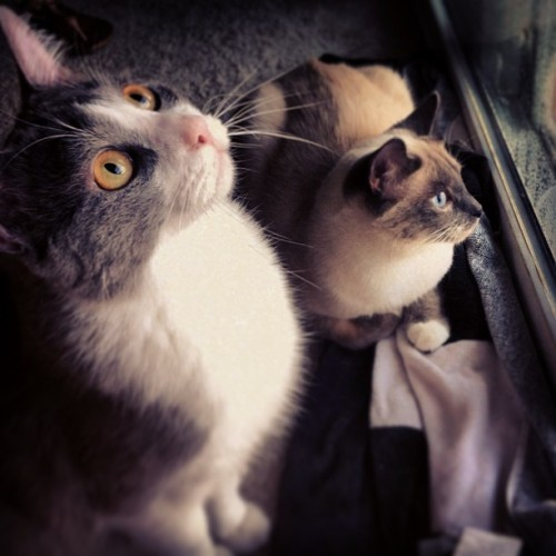 Watching the pass by #myprettykitties #ruger #penny #cats #owleyes #siamesemix #meow