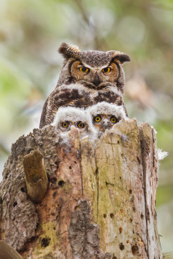0mnis-e:   Great Horned owl family portrait, By Daniel Cadieux.