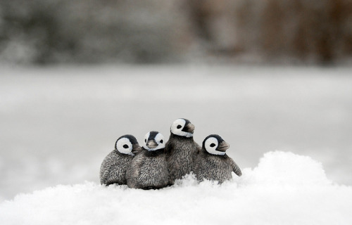 thepenguinblog:  Emporer Penguin chicks by photo hayes on Flickr.