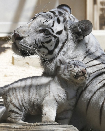 theanimalblog:  A 7-year-old white tiger sits with one of her cubs at Tobu Zoo in Miyashiro, near Tokyo. Four newborn white tiger cubs made their first public appearance at the zoo.  Picture: AP