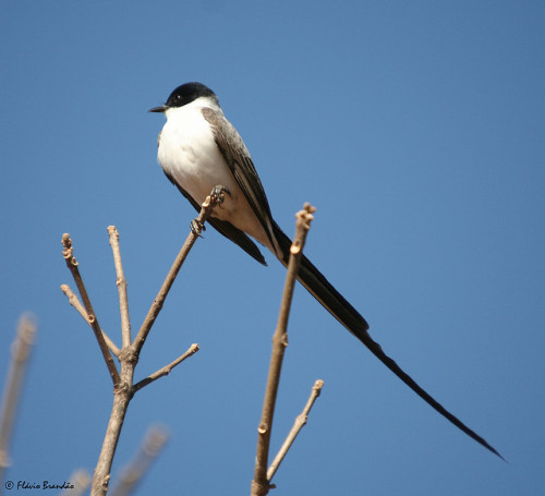 Tesourinha (Tyrannus savana) - Fork-tailed Flycatcher by Flávio Cruvinel Brandão on Flickr.