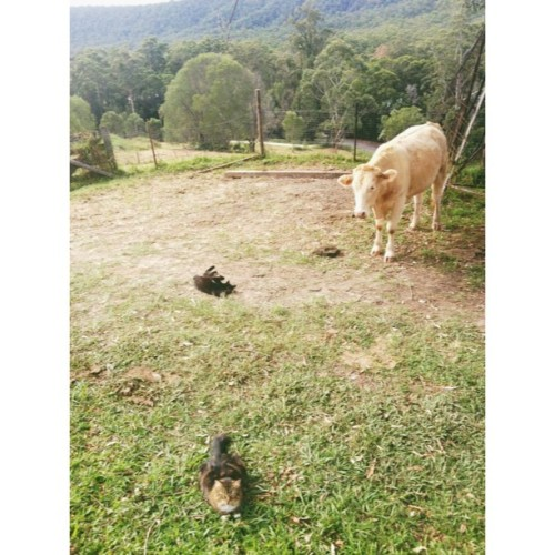 2 cats, a bull and a big poop. Playtime on the farm 🐱🐱🐮💩 #cats #cows #farmlife