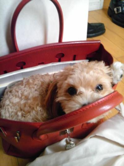 This will be my puppy in 3 months time. Getting a Birkin for my 21st.