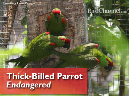 birdchannel:  In honor of Endangered Species Day on May 17, 2013, BirdChannel is helping promote awareness of endangered parrot species all month long. The thick-billed parrot (Rhynchopsitta pachyrhyncha) is an endangered parrot native to Mexico. Bird Life estimates the population 2,000 to 2,800 mature individuals; World Parrot Trust estimates the population to be 1,000 to 4,000 parrots.  The thick-billed parrot used to be native to parts of the United States, one of only two species to the United States. The birds disappeared in the 1900s from the U.S., likely from hunting. Read more here.