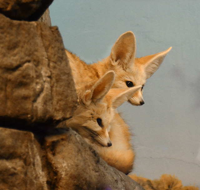 Fennec Foxes Watch! by MrGuilt on Flickr.