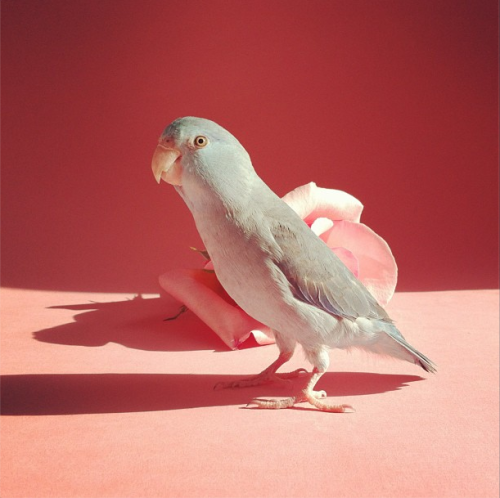 anjalouise:  Miracle Baby is an adorable, pastel maniac.  Our bird. Looks cute, but is insane.