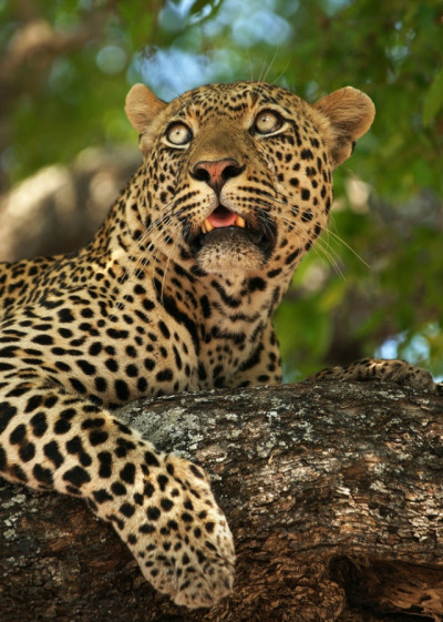 theanimalblog:  Kashane Male Leopard. Photo by Rudi Hulshof
