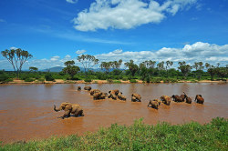 Elephants crossing the Ewaso Nyiro River in Samburu game reserve in Kenya. Chinese actress and UNEP goodwill ambassador Li Bingbing has joined the campaign to raise awareness of how demand in China is fueling the killing of elephants in Africa Photograph: Carl De Souza/AFP/Getty Images