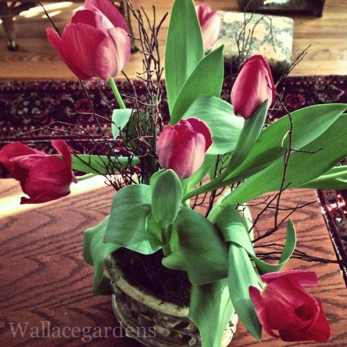 Playing with (house)plants: forcing Tulips with organic manure tea from Authentic Haven Brand Natural Brew.