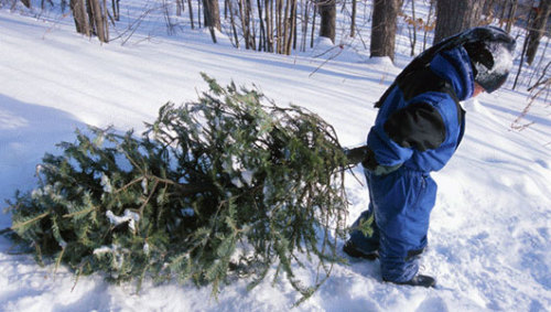 mothernaturenetwork:  Christmas tree's genes date to dinosaur ageNew research shows that the genome of conifers has hardly changed since the days of the dinosaurs.