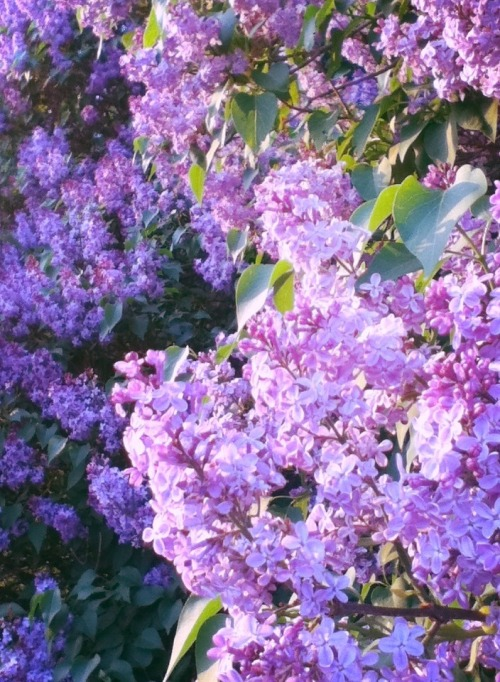 my love for lilacs is fucked