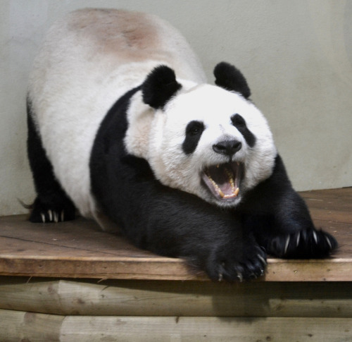 grisser:  nullpandaexception:  fuckyeahgiantpanda:  Tian Tian at the Edinburgh Zoo, Scotland, on January 23, 2013. © Gavin Proc.  AHHHH SO CUTE I CAN'T TAKE IT  Wow what a cutie. seriously