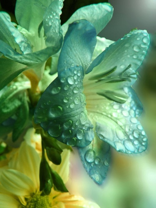 flowersgardenlove:  Raindrops on Lilies Flowers Garden Love