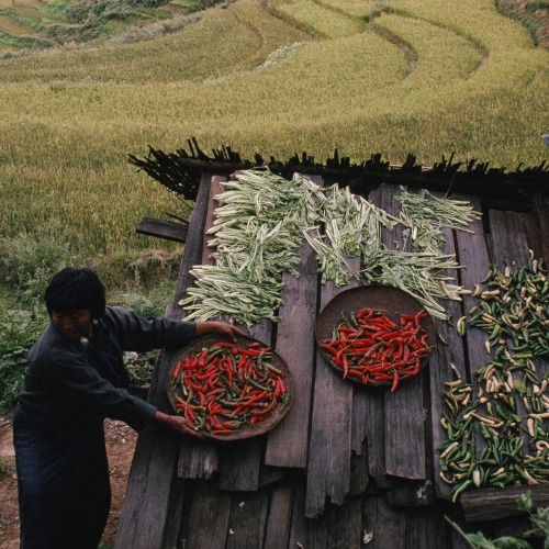 "Bhutan set to plough lone furrow as world's first wholly organic country  Bhutan plans to become the first country in the world to turn its agriculture completely organic, banning the sales of pesticides and herbicides and relying on its own animals and farm waste for fertilisers. But rather than accept that this will mean farmers of the small Himalayan kingdom of around 1.2m people (according to Pema Gyamtsho, Bhutan's minister of agriculture and forests; the World Bank estimates it at around 740,000) will be able to grow less food, the government expects them to be able to grow more – and to export increasing amounts of high quality niche foods to neighbouring India, China and other countries. The decision to go organic was both practical and philosophical, said Gyamtsho, in Delhi for the annual sustainable development conference last week. ""Ours is a mountainous terrain. When we use chemicals they don't stay where we use them, they impact the water and plants. We say that we need to consider all the environment. Most of our farm practices are traditional farming, so we are largely organic anyway. ""But we are Buddhists, too, and we believe in living in harmony with nature. Animals have the right to live, we like to to see plants happy and insects happy,"" he said. Gyamtsho, like most members of the cabinet, is a farmer himself, coming from Bumthang in central Bhutan but studying western farming methods in New Zealand and Switzerland. ""Going organic will take time,"" he said. ""We have set no deadline. We cannot do it tomorrow. Instead we will achieve it region by region and crop by crop."" The overwhelmingly agrarian nation, which really only opened its doors to world influences 30 years ago, is now facing many of the development pangs being felt everywhere in rapidly emerging countries. Young people reluctant to live just by farming are migrating to India and elsewhere, there is a population explosion, and there is inevitable pressure for consumerism and cultural change. But, says Gyamtsho, Bhutan's future depends largely on how it responds to interlinked development challenges like climate change, and food and energy security. ""We would already be self-sufficient in food if we only ate what we produced. But we import rice. Rice eating is now very common, but traditionally it was very hard to get. Only the rich and the elite had it. Rice conferred status. Now the trend is reversing. People are becoming more health-conscious and are eating grains like buckwheat and wheat."" In the west, organic food growing is widely thought to reduce the size of crops because they become more susceptible to pests. But this is being challenged in Bhutan and some regions of Asia, where smallholders are developing new techniques to grow more and are not losing soil quality. Systems like ""sustainable root intensification"" (SRI), which carefully regulate the amount of water that crops need and the age at which seedlings are planted out, have shown that organic crop yields can be doubled with no synthetic chemicals. ""We are experimenting with different methods of growing crops like SRI but we are also going to increase the amount of irrigated land and use traditional varieties of crops which do not require inputs and have pest resistance,"" says Gyamtsho. However, a run of exceptionally warm years and erratic weather has left many farmers doubtful they can do without chemicals. In Paro, a largely farming district in south-west Bhutan, farmers are already struggling to grow enough to feed their families and local government officials say they are having to distribute fertiliser and pesticides in larger quantities to help people grow more. ""I have heard of the plan to turn everything organic. But we are facing serious problems just getting people to grow enough"", said Rinzen Wangchuk, district farm officer. ""Most people here are smallholder farmers. The last few years we have had problems with the crops. The weather has been very erratic. It's been warmer than normal and all the chilli crops are full of pests. We are having to rely on fertilisers more than we have ever had to in the past and even these are not working as well as they initially did."" Dawa Tshering, who depends on his two acres of rice paddy and a vegetable garden, says that for decades his farming was chemical free. ""But its harder now because all our children are either in the capital or studying. Nobody wants to stay, which means we have to work harder. It's just my wife an myself here. We cannot grow enough to feed ourselves and take crops to the market, so we have to use chemicals for the first time. We would like to go back to farming how we used to, where we just used what nature provided."" But in a world looking for new ideas, Bhutan is already called the poster child of sustainable development. More than 95% of the population has clean water and electricity, 80% of the country is forested and, to the envy of many countries, it is carbon neutral and food secure. In addition, it is now basing its economic development on the pursuit of collective happiness. ""We have no fossil fuels or nuclear. But we are blessed with rivers which give us the potential of over 30,000megawatts of electricity. So far we only exploit 2,000 megawatts. We exploit enough now to export to India and in the pipeline we have 10,000 megawatts more. The biggest threat we face is cars. The number is increasing every day. Everyone wants to buy cars and that means we must import fuel. That is why we must develop our energy."" Agriculture minister Gyamtsho remains optimistic. ""Hopefully we can provide solutions. What is at stake is the future. We need governments who can make bold decisions now rather than later."""