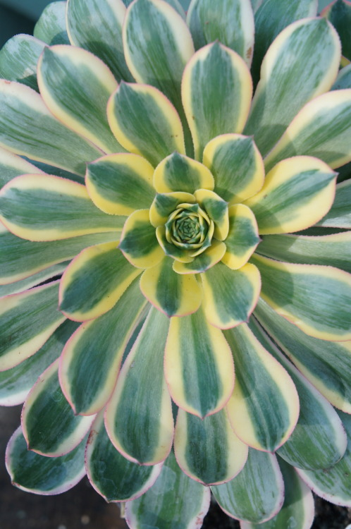 flora-file:  Aeonium 'sunburst' (by flora-file)
