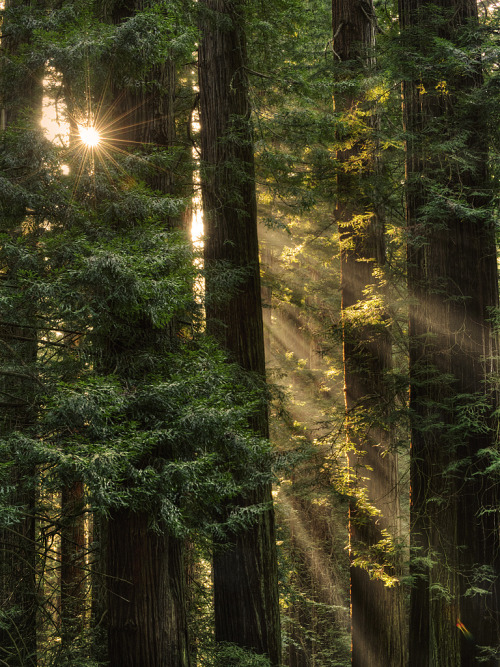 brutalgeneration:  Coast Redwood (Sequoia sempervirens) (by ER Post)