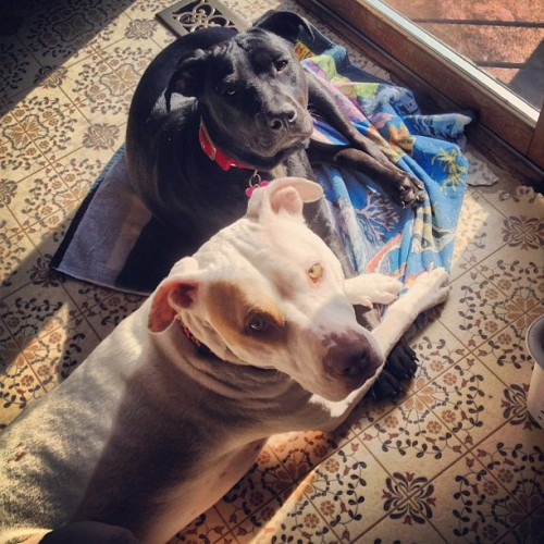 The two goofballs laying in the sun. #rescue #adoptdontshop #pitbullsofinstagram