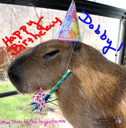 Today is Dobby(e) Winnick's fourth birthday and I made Garibaldi Rous put on a hat and hold a noisemaker for a photo. If he looks miserable, that is because he was. Rest assured that the whole photo session took less than five minutes and no capybaras were harmed in the making of this photo.