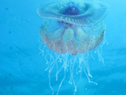 thelovelyseas:  Cauliflour Jellyfish, Cephea cephea fully backlit at Marsa Shouna, Red Sea, Egypt #SCUBA by Derek Keats on Flickr.