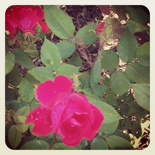 Roses on my walk this morning!