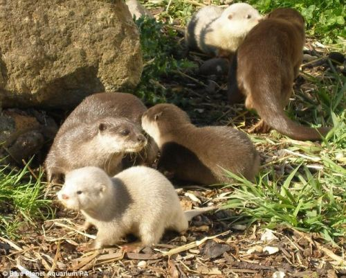 the-adorable-blog:  Baby albino otters