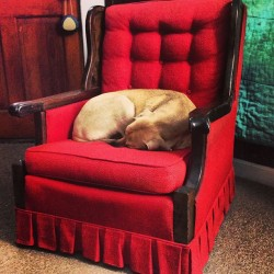 mybrainonshuffle:  Sleeping the snow away. #charlie #chomps #puppy #chair #red