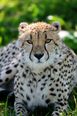 funkysafari:  Female cheetah at Tanganyika Wildlife Park by jobar67212(JR)