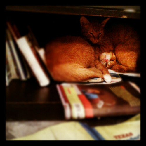 Ambrose and Kraven asleep on the books, in my kids shelf. Book cats instead of worms :) on Flickr.