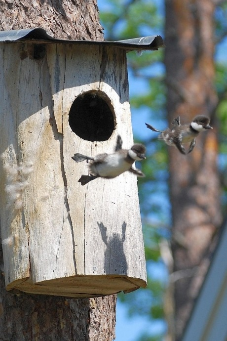 laughingstation:     First time leaving the nest. It's not flying. It's falling. With style.