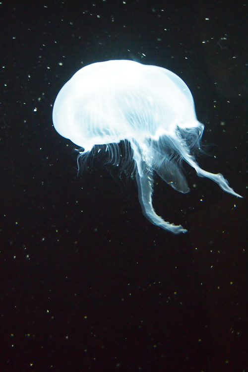 ayustar:  Moon Jelly!