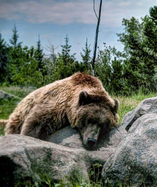 funkysafari:  Exhaused Grizzly by Desert Bug