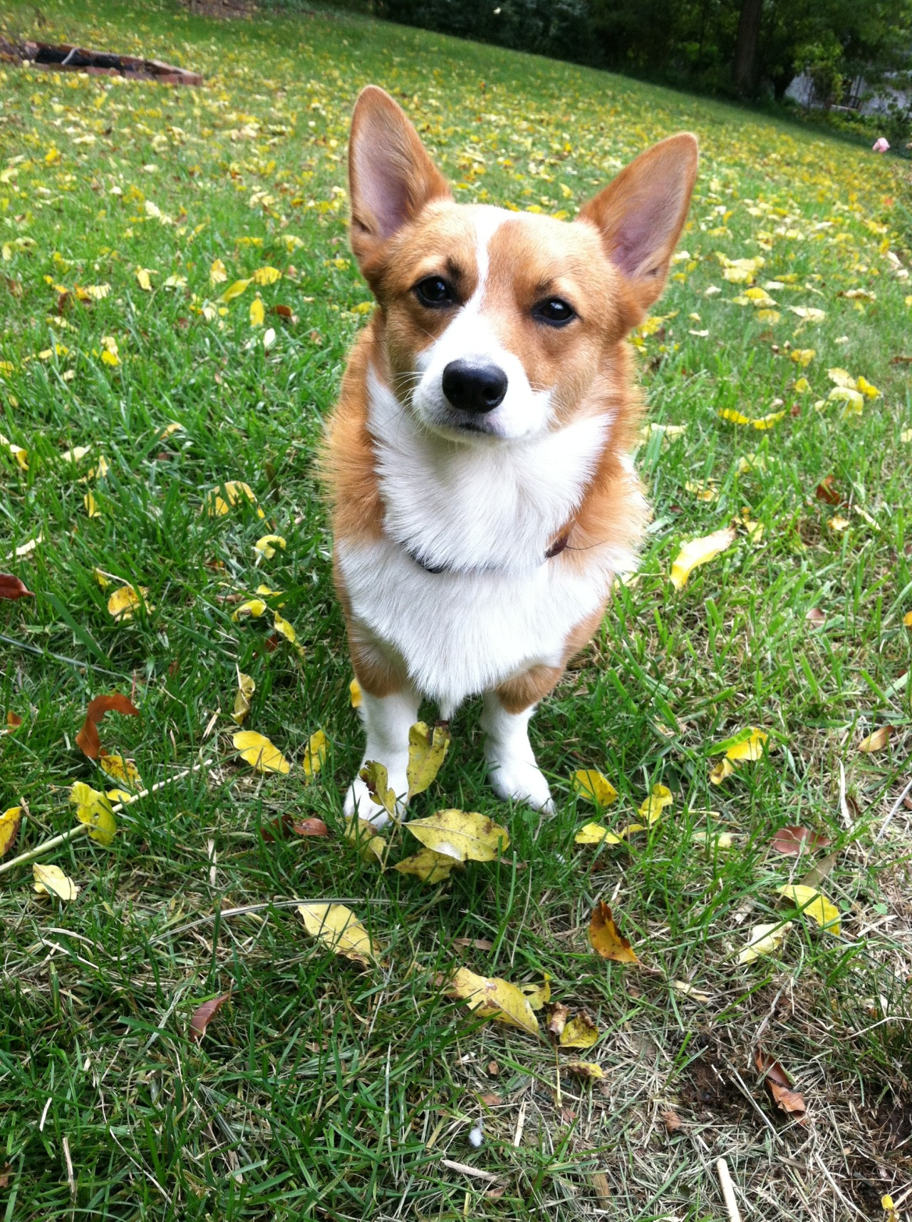 corgis-everywhere:  itsyou-imthinkinof:  This is my corgi, Tucker. :)  hi tucker!!