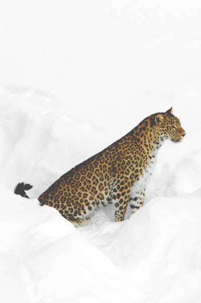 frncsc187:  Persian Leopard in the Snow | Source