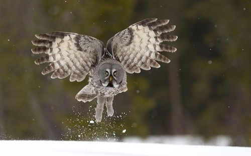 Great grey owl, Finland Picture: Danny Green / Rex Features