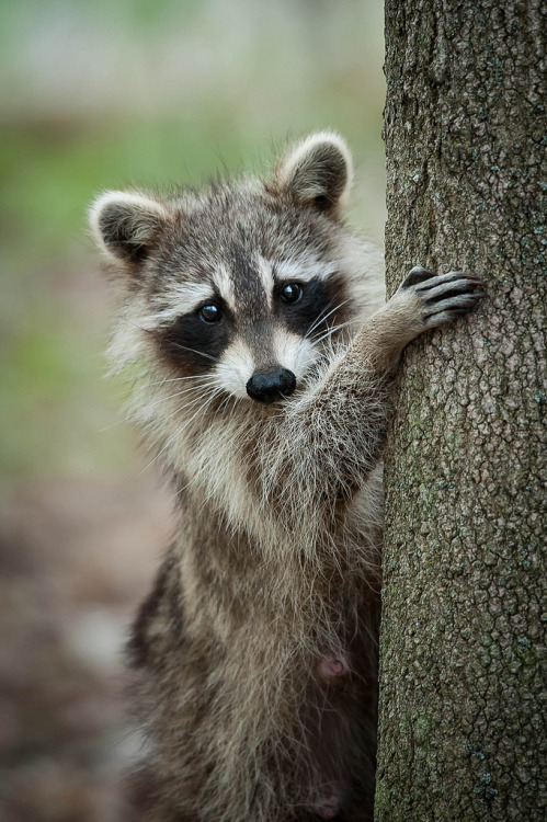 aesthecia:  Raccoon (by Justin Lo Photography)