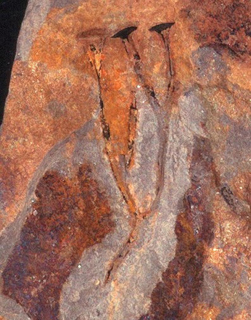 explore-blog:  The very first ejaculation in Earth's known history, caught in a fossil 408 to 363 million years ago.  Well, that's something.