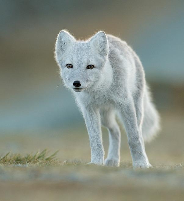 beautiful-wildlife:  Arctic FoxbyJamie Fox