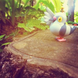#pokemon #pidove