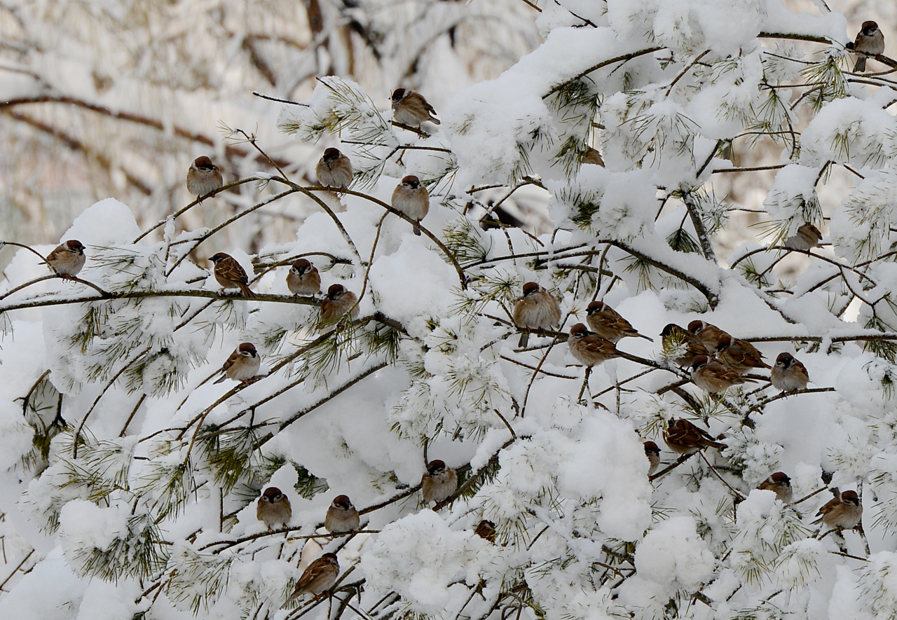 nationalpostphotos:  Birds perch on snow covered trees in a city park after heavy snowfall in Beijing on March 20, 2013. Beijing and the northern China have been experiencing its coldest winter in more than 30 years and have seen tens of thousands of the country's livestock dying and transport chaos as flights and highways are shut down. (MARK RALSTON/AFP/Getty Images)