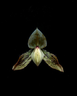 55132.01 Paphiopedilum Magical Venus by horticultural art on Flickr.